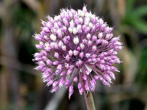 Turkish herbs - Allium