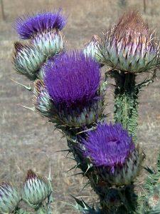 Turkish Herbs - Onopordum illyricum