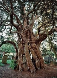 Ancient Trees - Fortingall Yew
