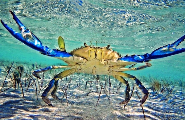 Blue Crabs in Dalyan - Life cycle and hunting regulations