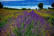 Lisinia project - burdur lavender fields - Saggalassos - 58