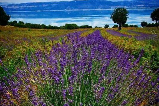 Lisinia project - burdur lavender fields - Saggalassos - 58