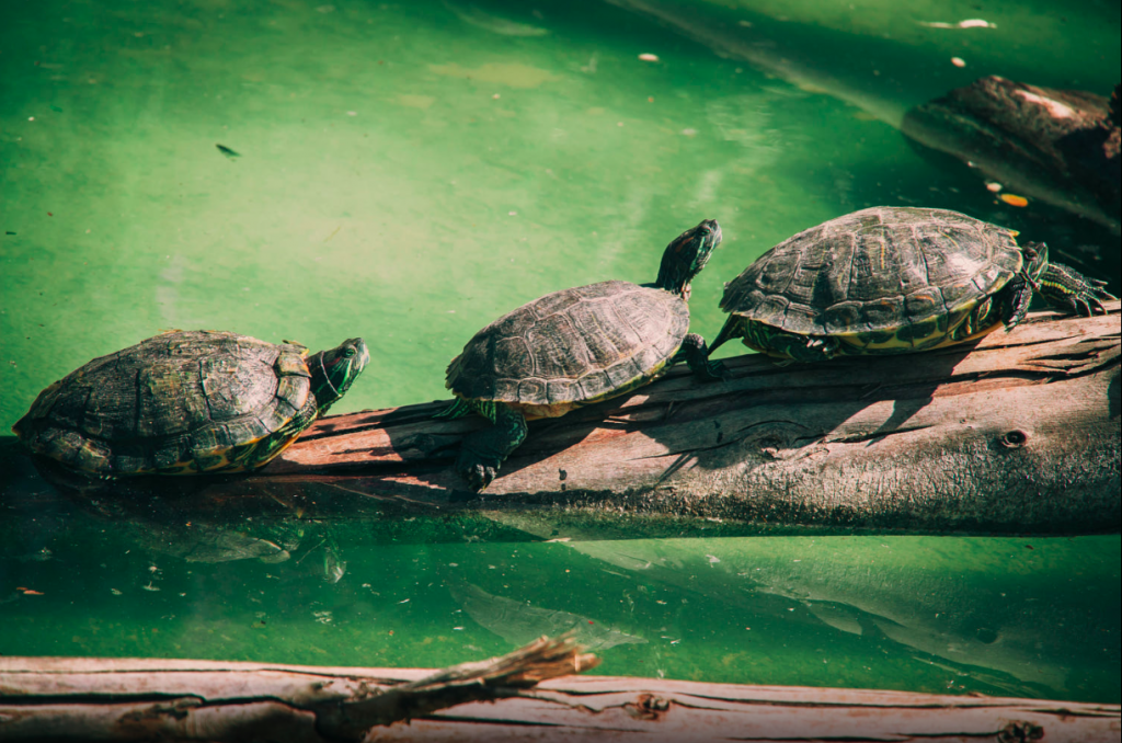 Nile Turtles (Trionyx Triunguis) known as tray turtles for their shape are found throughout the Dalyan delta