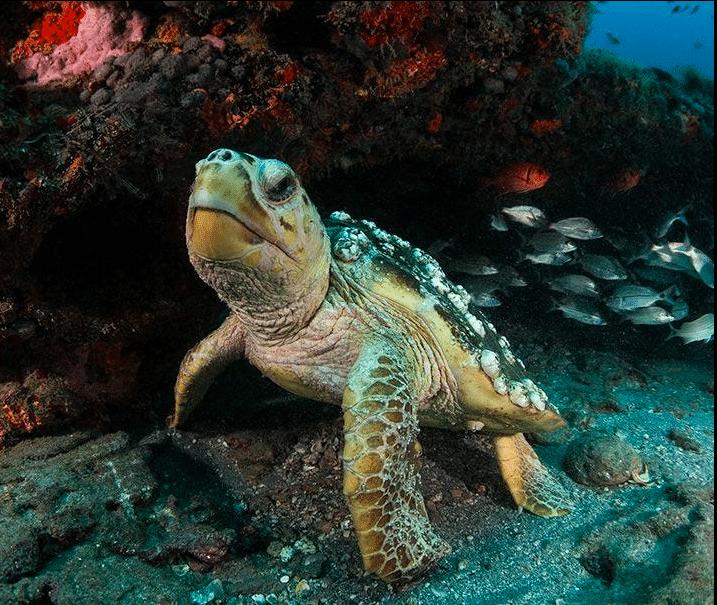 Loggerhead Sea Turtle (Caretta Caretta) - 2