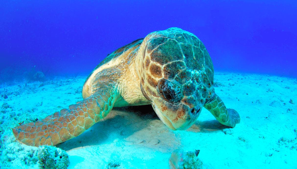 Loggerhead Sea Turtle (Caretta Caretta) - 1