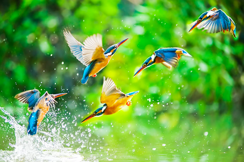 Alcedo Atthis (Common Kingfisher)