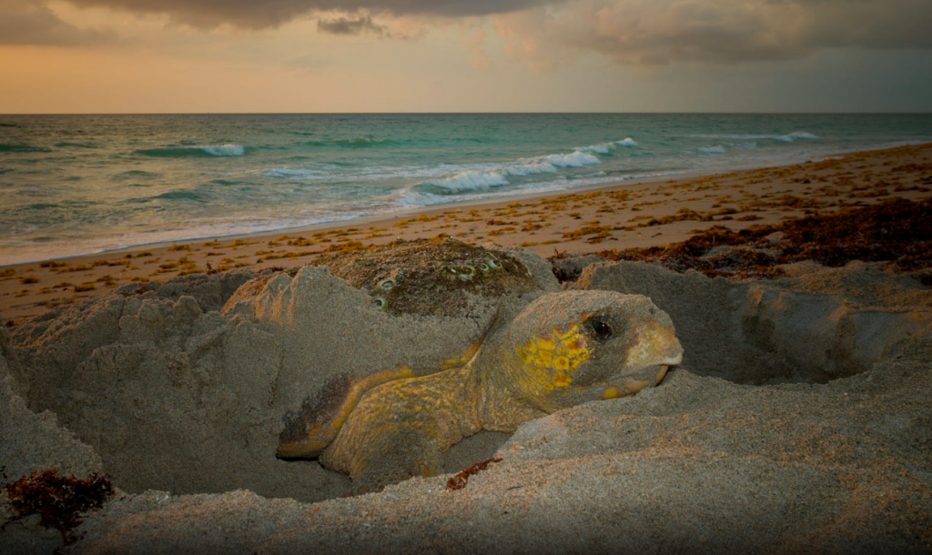 Female Caretta Caretta finishing up the nest after laying her eggs
