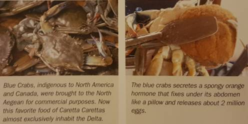 blue crabs and eggs