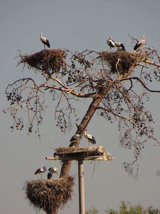 Storks nests at Leyley