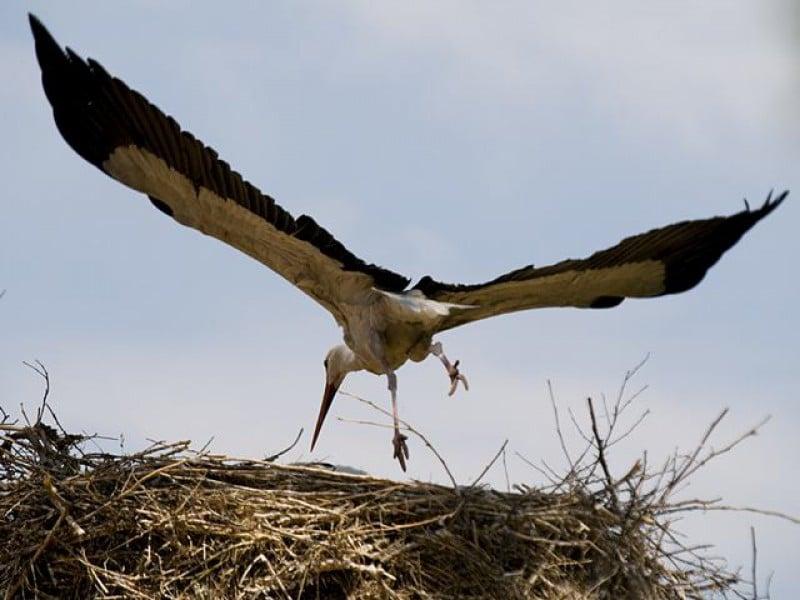 Leyley stork in flight
