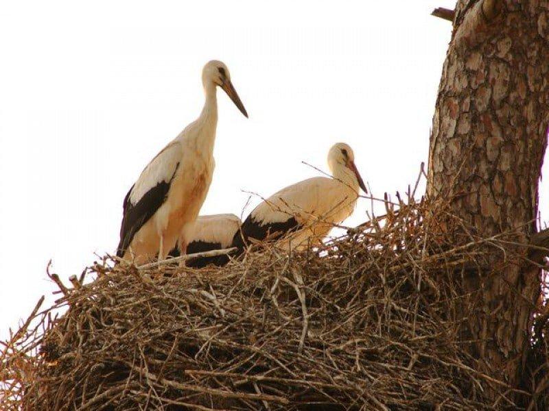 Leyley storks